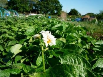 Квітки картоплі в народній медицині. Народні засоби, рецепти